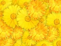 Achtergrond van oranje en gele natte bloemen Stock Fotografie