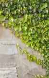 Achtergrond van oude muur met klimopstruiken Royalty-vrije Stock Foto