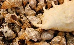 Achtergrond van overzeese shells Stock Afbeelding