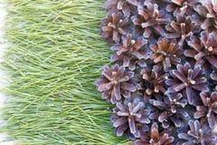 Achtergrond van pijnboomnaalden op het zand met kegelsclose-up Stock Foto's