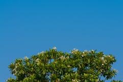Achtergrond van Plumeria-boomtextuur met blauwe hemel Royalty-vrije Stock Foto's
