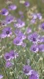 Achtergrond van purpere bloemen op een groene weideclose-up in wilde aard royalty-vrije stock foto's