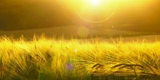 Achtergrond van rijpende gerst van geel tarwegebied op de ultrawideachtergrond van de zonsondergang bewolkte gele hemel Zonsopgan Royalty-vrije Stock Foto