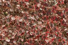 Achtergrond van Rode Bladeren Royalty-vrije Stock Afbeeldingen