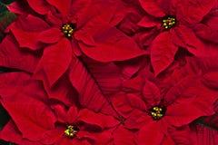 Achtergrond van rode bloemen Royalty-vrije Stock Foto's