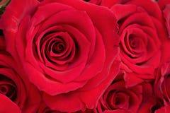Achtergrond van Rode Rozen Stock Foto's
