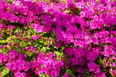 Achtergrond van rododendronbloemen Royalty-vrije Stock Afbeelding