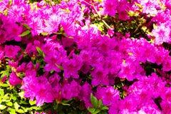 Achtergrond van rododendronbloemen Royalty-vrije Stock Afbeeldingen