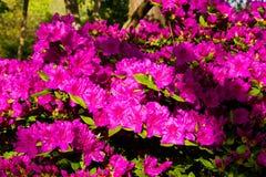 Achtergrond van rododendronbloemen Stock Foto's