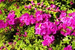 Achtergrond van rododendronbloemen Royalty-vrije Stock Fotografie