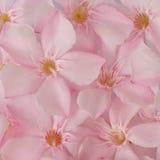 Achtergrond van roze bloemen, zoete oleander Stock Foto's