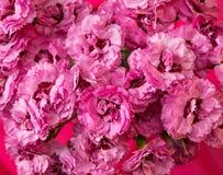 Achtergrond van roze vergeet-mij-nietjesclose-up Stock Afbeeldingen