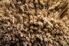 Achtergrond van tarweoren Stock Afbeelding