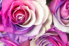Achtergrond van veelkleurige rozen Purper, purper, room, roze kleuren stock fotografie