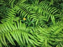 Achtergrond van Vers Groen Fern Leaves en Gele Bloem Royalty-vrije Stock Foto's