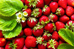 Achtergrond van verse die aardbeien, bladeren en bloemen met water water worden gegeven De mening vanaf de bovenkant Royalty-vrije Stock Foto