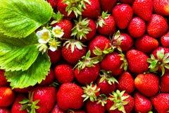 Achtergrond van verse die aardbeien, bladeren en bloemen met water water worden gegeven De mening vanaf de bovenkant Royalty-vrije Stock Afbeeldingen