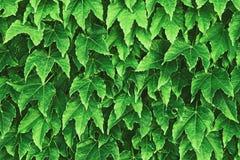 Achtergrond van verse groene bladeren gestemde Chartreuse-kleur wordt gemaakt die stock fotografie