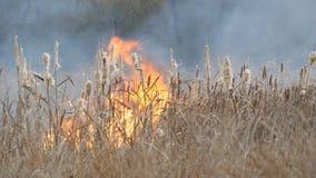 Achtergrond van wildfires of onweersbrand in de bossteppe Reusachtige hoeveelheid droge grasuitbarstingen hoog in vlammen burning stock video