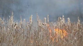 Achtergrond van wildfires of onweersbrand in de bossteppe Reusachtige hoeveelheid droge grasuitbarstingen hoog in vlammen burning stock videobeelden