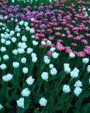 Achtergrond van witte en roze tulpen in donkere kleuren royalty-vrije stock foto