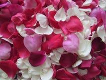 Achtergrond van Witte, Rode en Roze Rose Petals Royalty-vrije Stock Fotografie