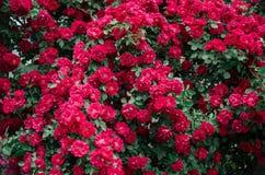 Achtergrond van zachte rode rozen in tuin, de zomerdag Royalty-vrije Stock Foto