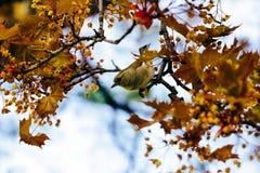 Achtergrond Vinkzitting op een bloeiende tak van esdoorn Royalty-vrije Stock Fotografie