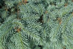 Achtergrond - weelderig gebladerte van Picea pungens Royalty-vrije Stock Afbeelding