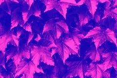 Achtergrondafbeelding van dichte omhooggaand van Ivy Leaves tijdens Dalingsseizoen, Duotone-beeld stock foto's