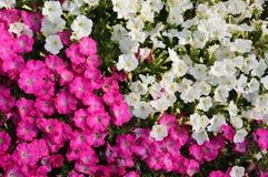 Achtergronden van witte en roze petuniabloemen Royalty-vrije Stock Foto