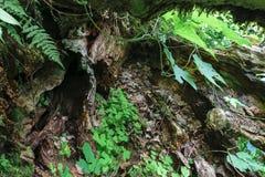 Achtergrondoppervlakte van oude die boomboomstam door varens en cli wordt omringd Stock Fotografie