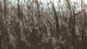 Achtergrondriet in de wind stock videobeelden