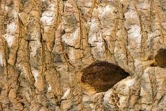 Achtergrondschors van een boom met een gat Royalty-vrije Stock Afbeelding