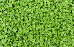 Achtergrondtextuur van kleine verse groene bladeren Stock Afbeeldingen
