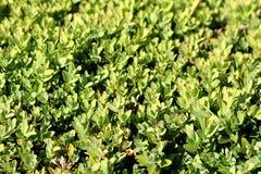 Achtergrondtextuur van lichtgroene bladeren op Haag of Haag hechte dicht geplante struiken in lokale tuin stock afbeelding