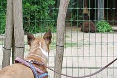 Achterhoofd van een nieuwsgierige bruine Franse Buldoghond op leiband het letten op dieren bij de dierentuin door omheining stock afbeeldingen