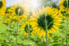 Achterkant van zonnebloem in landbouwbedrijf met zonlicht royalty-vrije stock foto