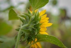 Achterkant van zonnebloemen met onscherpe achtergrond wordt geïsoleerd die stock afbeeldingen