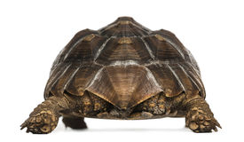 Achtermening van een Afrikaanse Aangespoorde Schildpad status stock afbeelding
