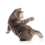 Achtermening van gestreepte katkat Speels die katje op witte achtergrond wordt geïsoleerd stock afbeeldingen