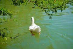 Achtermening van het witte eend zwemmen stock fotografie