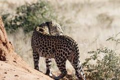 Achtermening van radio-collared Afrikaanse luipaard op termiethoop die terug over schouder Okonjima-Natuurreservaat, Namibië beki stock fotografie