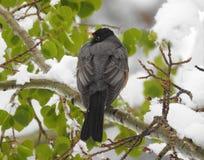 Achtermening van Robin die op een sneeuwtak wordt neergestreken stock afbeelding
