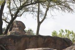 Achtermeningsleeuwin die op rotsen leggen die hieronder overzien Stock Foto's