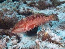 Achterste koraal Stock Fotografie