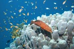 Achterste koraal Stock Foto's