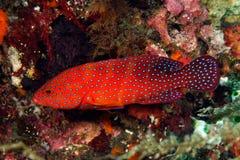Achterste koraal (miniata Cephalopholis) Stock Foto's