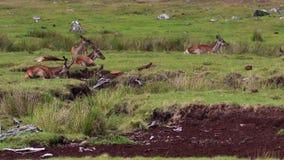 Achterste rode herten, Cervus-elaphus die, het liggen, op heide in augustus in het rookkwartsen nationale park rusten, Schotland stock footage