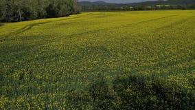 Achterwaartse het vliegen hommellengte boven raapzaadgebied, westelijk Slowakije stock video